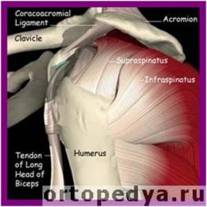 Вращательная манжета плечевого сустава